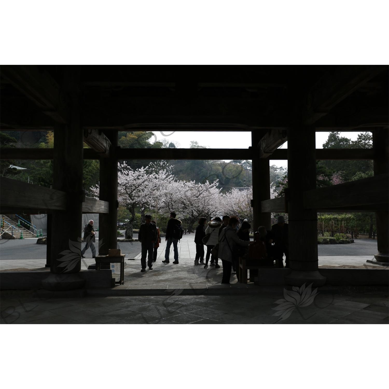 Cherry Blossom Trees around the Sanmon of Kencho-ji in Kamakura