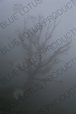 Tree in the Mist near Monteverde