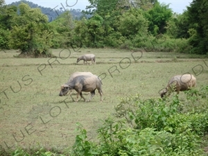 Water Buffalo near the Mekong River