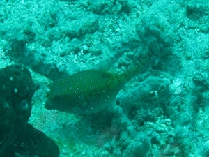 Puffer Fish Swimming through Coral off Gili Meno