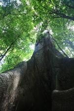 Giant Kapok/Ceiba Tree in Arenal Volcano National Park