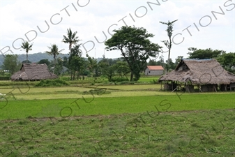 Paddy Fields near Yogyakarta