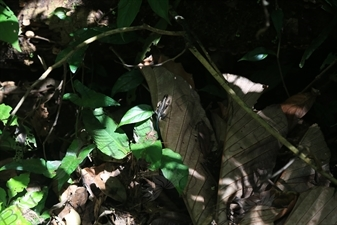 Central American Whiptail Lizard in Arenal Volcano National Park