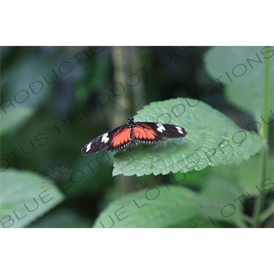 Doris Longwing Butterfly in Arenal Volcano National Park