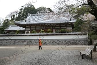 Temple Buildings and Cherry Blossom Trees around the Sanmon of Engaku-ji in Kamakura