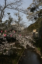 Lanterns Hanging in Cherry Blossom Trees in Kinosaki Onsen