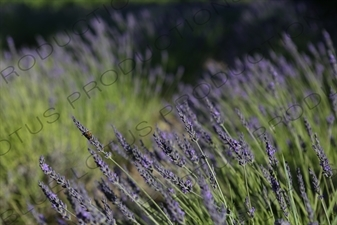 Bee on a Lavender Flower near Château de Lacoste